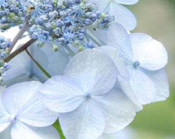 Baby Blue Hydrangea - Nature Art - Pastel Blue - Wall Art Decor -Botanic Art - Garden - Home Decor - Nature  Photography - Flower Photograph