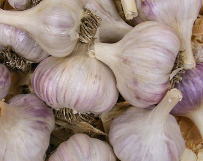 Mixed Garlic Bulbs Organic Grown Gourmet Collection - 1 Pound For Fall Planting or Cooking Assorted Varieties - Fall Shipping