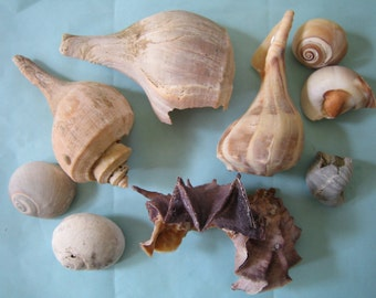 Natural Atlantic Ocean Sea Shells, Sea Shell Collection, Various Shell Lot, Beach Supplies for Crafts, Jewelry, Beach Decor, Large Sized