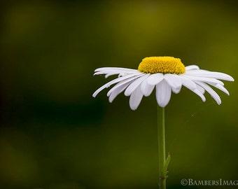Defiant Daisy. White Daisy Print, Macro Photography, White, Green and Yellow, Flower Print, Daisy Photo, Home Decor, Bright, Nature Image
