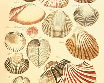 Sea shell art print antique prints Nautical art print Ocean Decor beach art print ocean print Sea art print old prints home decor wall art