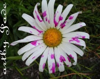 "8x10"" Artistic Daisy Photograph titled, ""Purple Rain"""