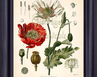 KOHLER Botanical Print 8x10 Papaver Somniferum Opium Poppy Antique Vintage Art Painting 1887 Plate Red FLower Seeds BF0701