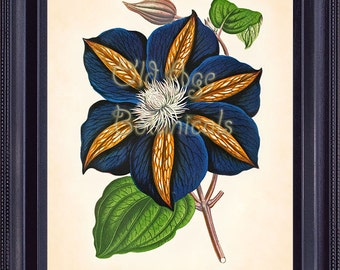 Vintage Inspired Botanical Print 8x10 Beautiful CLEMATIS Garden Hybrid Gorgeous Royal Blue Flower Floral Art Wall Decor Rare BF0901