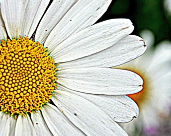 HD Daisy.  Macro photo in high definition.