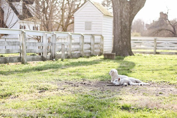 Lambs Fine Art Photography Print - Spring, Farm, Animal Photography