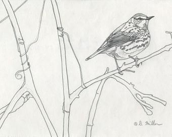 Darin Miller Pencil Study Drawing - Cape May Warbler Bird Art