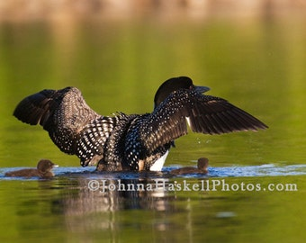 Adult Loon with 2 chicks under wings-  8x10 Fine Art Nature Willdlife Photography