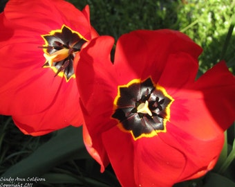 Two Red Poppy Tulips-Limited Edition