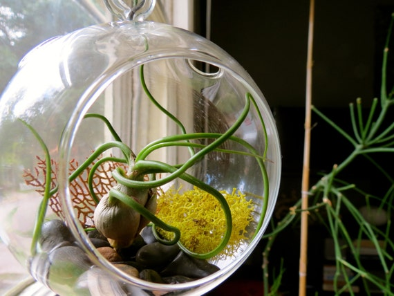 suspension air plante terrarium bulbosa merveilleux dans un. Black Bedroom Furniture Sets. Home Design Ideas
