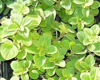 Greek Oregano Live herb plant. Most preferred oregano for culinary use.