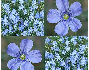 1,500 x BLUE FLAX Flower Seeds - Linum lewisii - Lewis Flax Seed - Attracts Birds and Butterflies ~ Perennial Flower