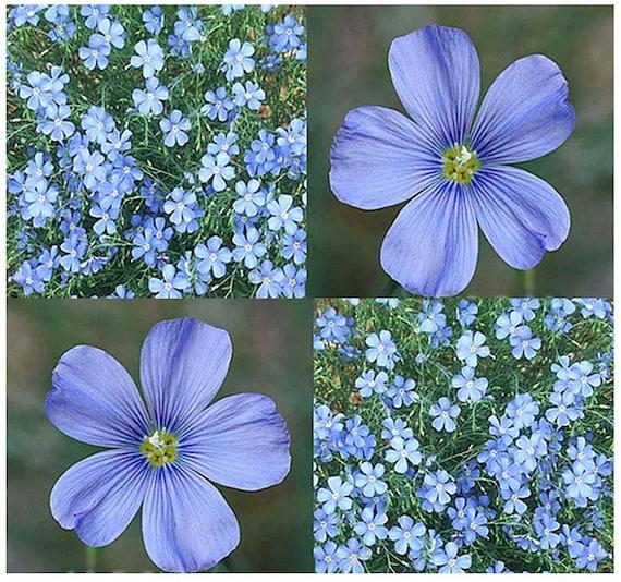 1500 x BLUE FLAX Flower Seeds Linum lewisii Lewis Flax