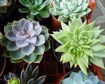 Succulent Plants. Assortment of 28 Gorgeous Succulent Plants.