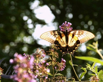 Nature Photography.  Butterfly Photography. Spring & SummerPhotography. 8x12 Print