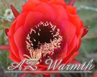 Red Desert Cactus Flower Photography Digital Instant Download Printable Photo Arizona Southwest Photo christmas birthday gift ideas under 20