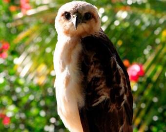 Wild Hawaiian Hawk Fine Art Photography - Big Island Hawaii - Wild and Free Bird - Endangered Species - Nature Photography - Bird of Prey