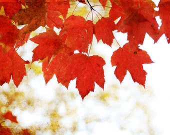 Nature Photography Tree Photography Scarlet Red Leaves Fine Art Photography Autumn Photo