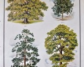 VINTAGE 1930's School Poster TREES: Oak, Holly, Scots Pine, Elm