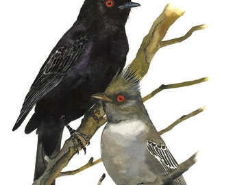 Limited Edition GICLEE Print / Watercolor Painting of Phainopepla