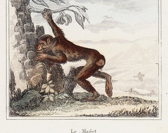 1850  Antique MONKEY print, engraving By BUFFON