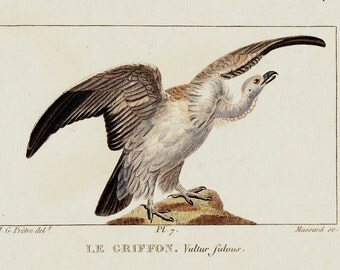 1830 Antique BIRD print, WHITE VULTURE, Le Griffon,. Original antique hand colored 183 years old rare print