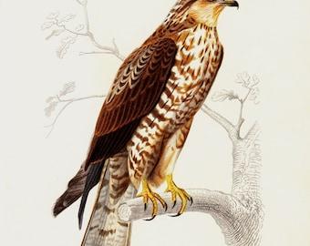 Antique print, 1869  BIRD of PREY lithograph, European Honey Buzzard print. Original antique and very elegant hand colored