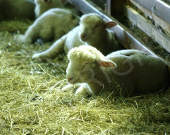 Photography Print or Greeting Card, Lambs, Country, Farm Animals, Sheep, Baby Animals, Photography Wall Art, Gift Idea