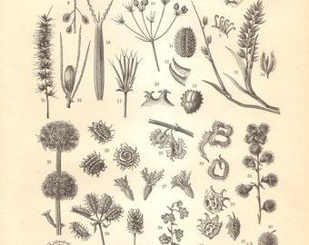 1897 Original Antique Engraving of Seeds