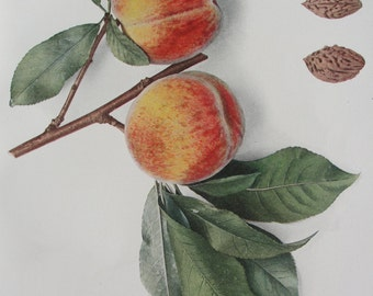 Botanical - Peach Lithograph - 1917 - original