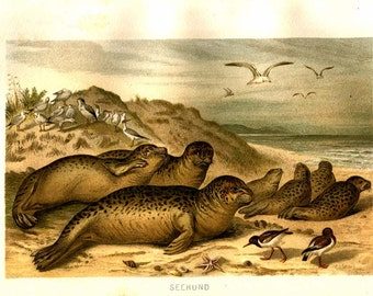 Vintage Print Seals, Sea Mammals Color Lithograph, Brehm, Marine Zoology