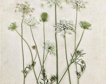 Botanical Print Queen Annes Lace Minimal Minimalist Field Flowers Vintage Feel Flora White Mint Green Creme, Fine Art Print