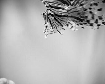 Lion Fish  and Coral - Black and White, Aquarium Photograph