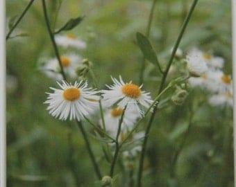 Baby Daisies, Wildflower Series, Art Photography