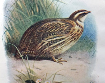 Quail, Antique Bird Print, Vintage Bird Illustration, Nature, Natural History, Bird Print from Swaysland, Familiar Wild Birds