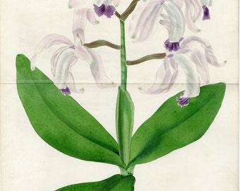 Large 1839 Antique Botanical Print  The Floricultural Cabinet  Purple Orchid Floral Decor