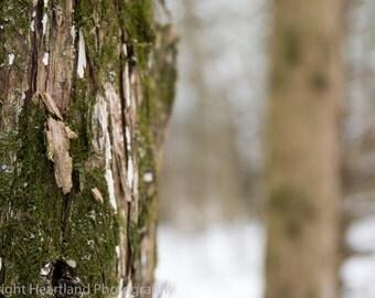 Oak Tree Print, Winter Photography, Snow Photography, Moss Photography, Tree Bark, Nature Photography, Tree Prints, Tree Image, Winter Photo