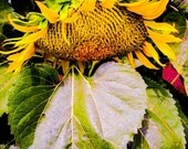 Sunflower Print, Nature Photograph, Yellow And Green, Yellow Nature Print, Green Fine Art, Photo Wall Art, Shy by Paula DiLeo_110113
