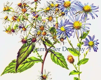 White Aster & Late Purple Aster  Wild Flowers Vintage Cottage Botanical Lithograph 1950s Art Print To Frame 212