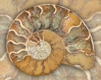 Fossil Ammonite A art print - 8x10 inches (20x25cm) - natural history decor, seashell art, fibonacci spiral, golden ratio, nature art