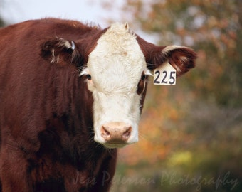 Cow photography Brown White Green Decor Farm Animal Nature wall art print Nursery Art Maine Fall Colors 5x7/Matted, 8x10 Fine Art Photograph