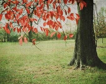 Autumn Red . tree photograph . october . landscape photography . nature photography . green scarlet . leaves . rustic woodland . wall decor