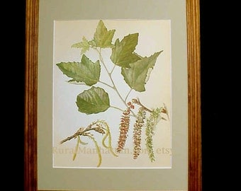 60s Botanical Plate White Poplar Tree Populus Alba Print Wood Frame Glass Mat Leaves Leaf Catkins