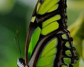 Malachite Butterfly - 4x6 Fine Art Photograph