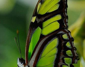 Malachite Butterfly - 4x6 Fine Art Photograph