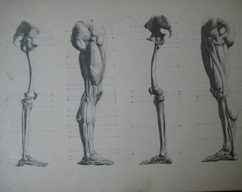 Large 1886 Antique Medical Engraving of the Leg Bones and Muscles