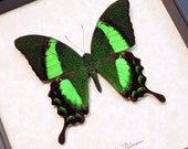 Real Emerald Green Framed Butterfly Conservation Display 120