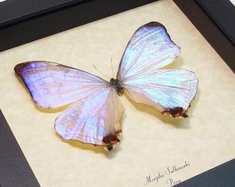 Something Blue Wedding Gift - Real Framed Mother of Pearl Morpho Sulkowski Butterfly 232