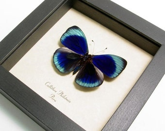 Framed Butterfly Real Callithea Philotmia Conservation Display 355