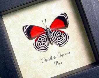 The 88 Butterfly Amazing Real Framed Insect 339